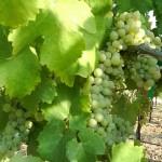 AROMO(アロモ)ワイン ~今注目の品種 ヴィオニエ~
