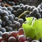 フランス ボルドー 6大ブドウ品種